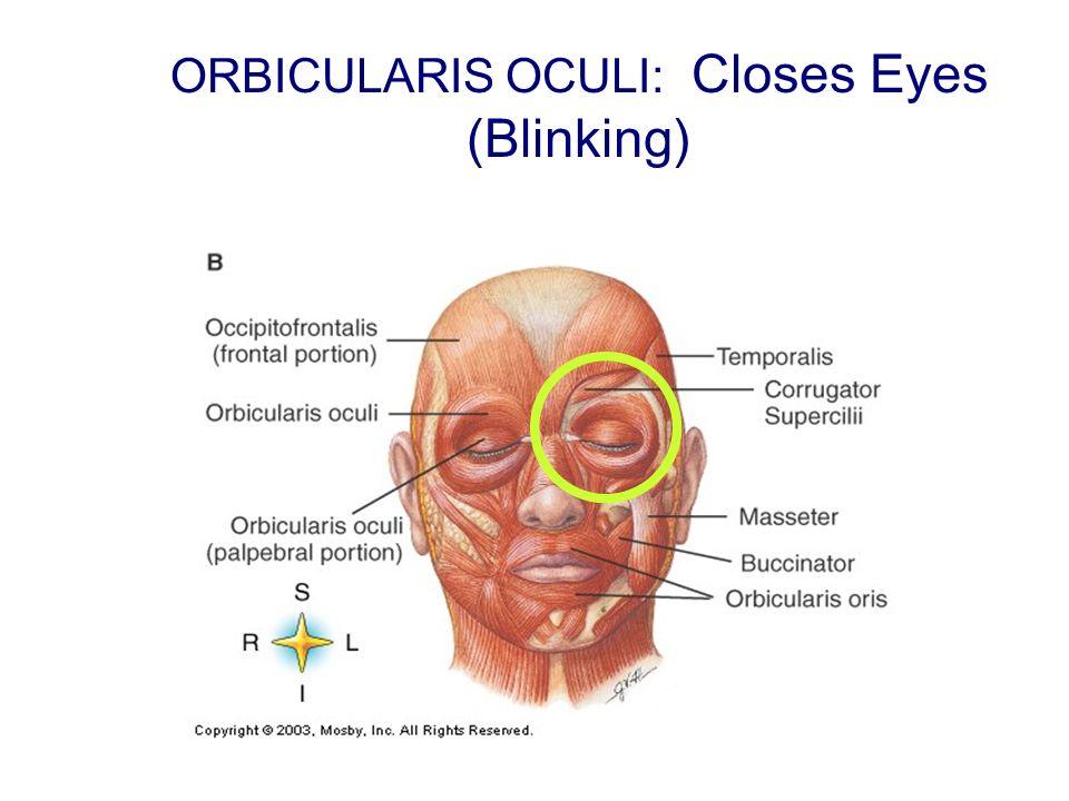 ORBICULARIS OCULI: Closes Eyes (Blinking)