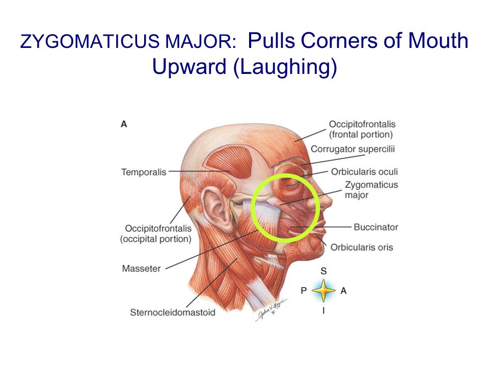 ZYGOMATICUS MAJOR: Pulls Corners of Mouth Upward (Laughing)