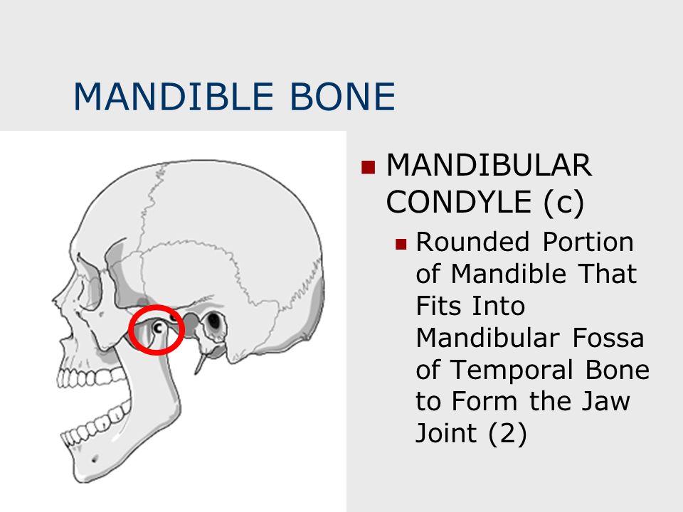 MANDIBLE BONE MANDIBULAR CONDYLE (c)