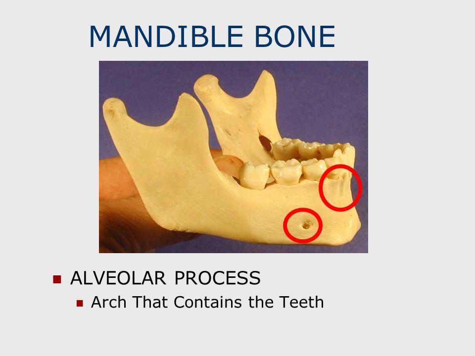MANDIBLE BONE ALVEOLAR PROCESS Arch That Contains the Teeth