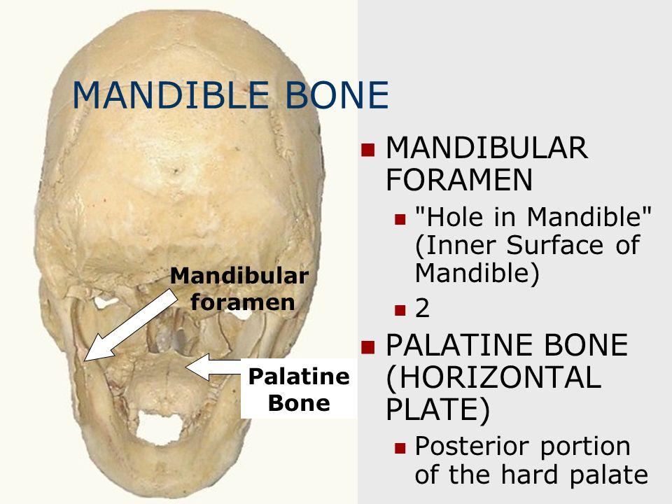 MANDIBLE BONE MANDIBULAR FORAMEN PALATINE BONE (HORIZONTAL PLATE)