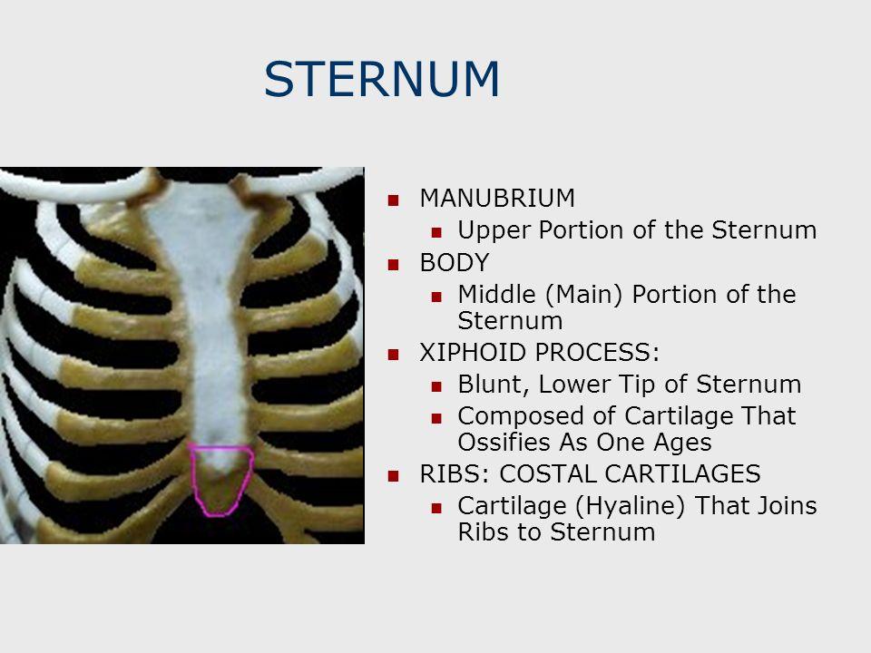 STERNUM MANUBRIUM Upper Portion of the Sternum BODY