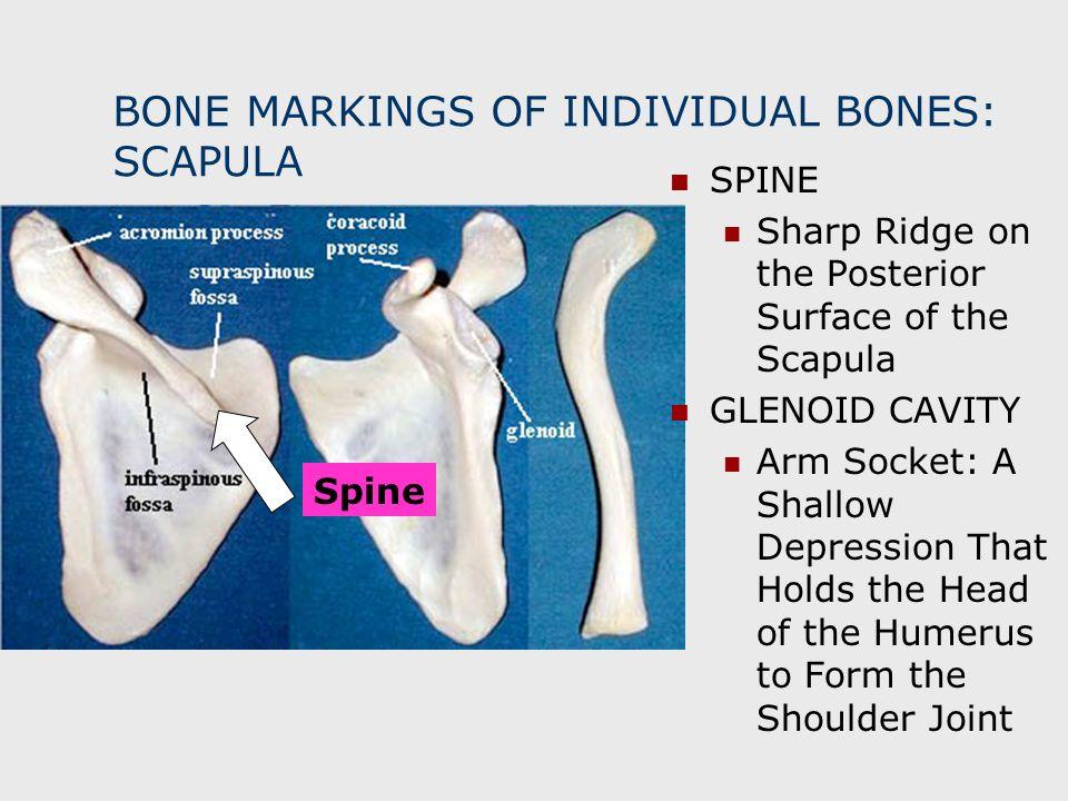 BONE MARKINGS OF INDIVIDUAL BONES: SCAPULA