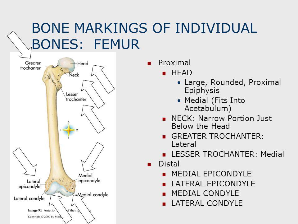 BONE MARKINGS OF INDIVIDUAL BONES: FEMUR