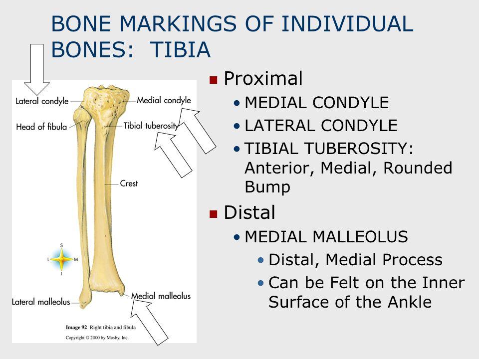 BONE MARKINGS OF INDIVIDUAL BONES: TIBIA