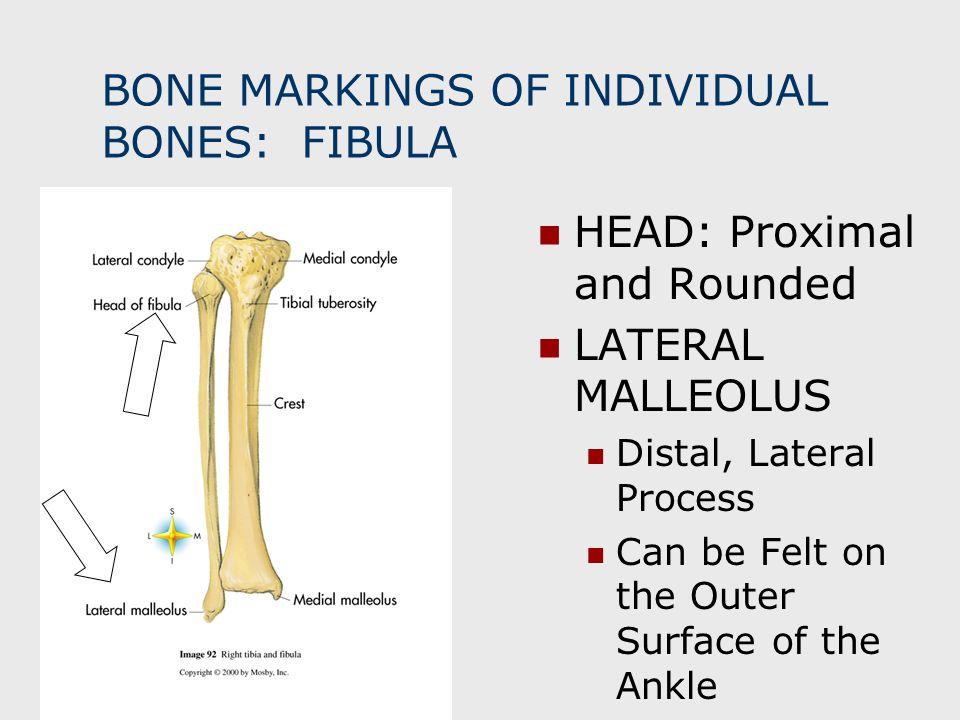 BONE MARKINGS OF INDIVIDUAL BONES: FIBULA