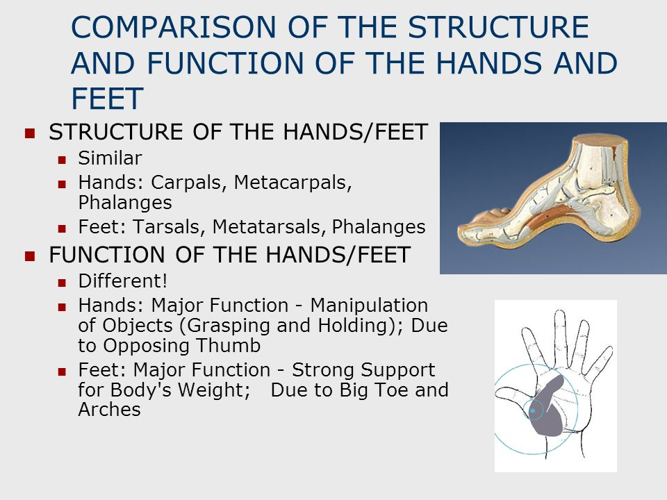 COMPARISON OF THE STRUCTURE AND FUNCTION OF THE HANDS AND FEET