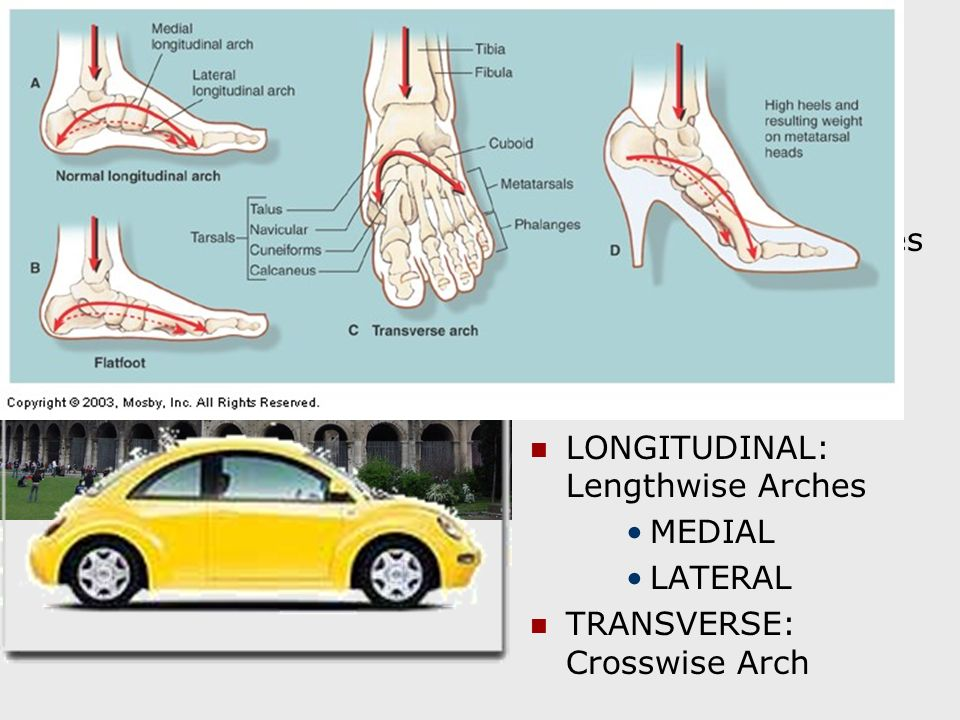 ARCHES OF THE FOOT Strong Tendons and Ligaments Hold Bones of the Foot in an Arched Position. Arches Provide Support.
