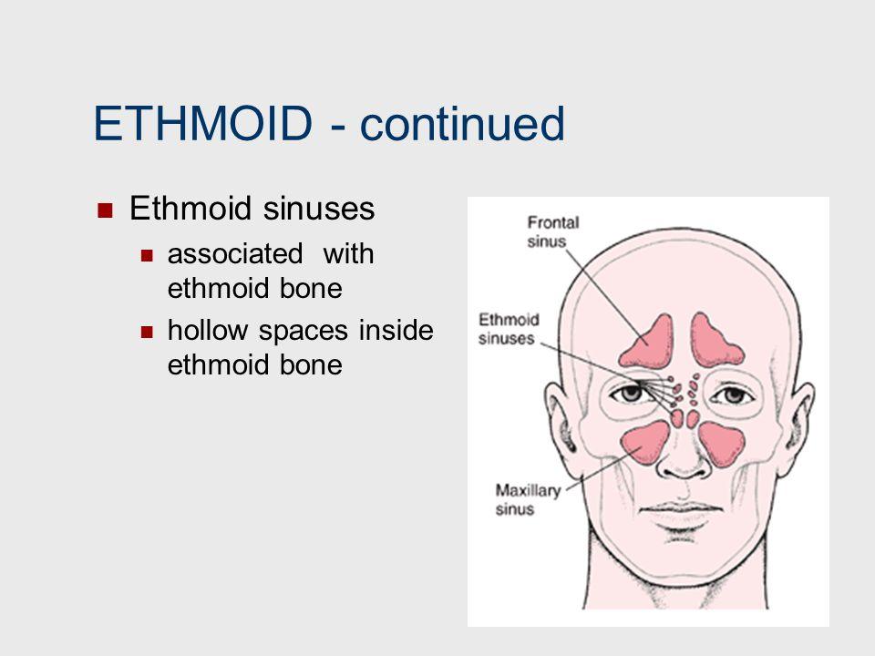 ETHMOID ‑ continued Ethmoid sinuses associated with ethmoid bone