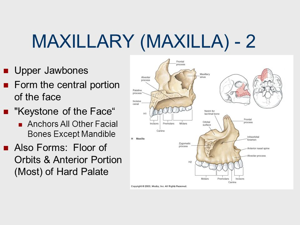 MAXILLARY (MAXILLA) ‑ 2 Upper Jawbones