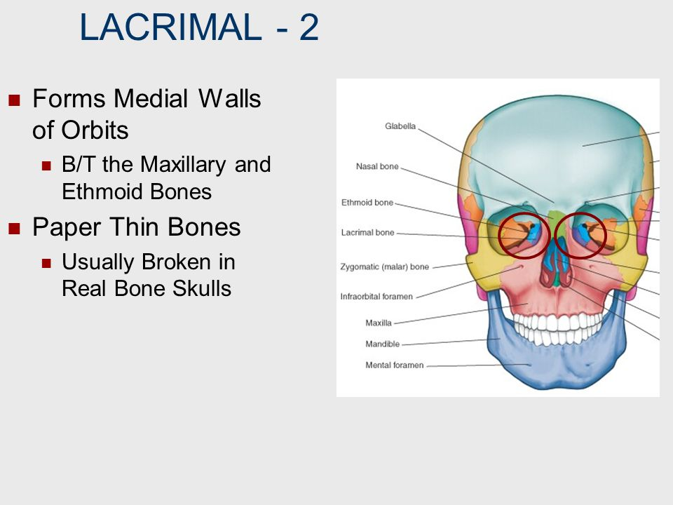 LACRIMAL ‑ 2 Forms Medial Walls of Orbits Paper Thin Bones