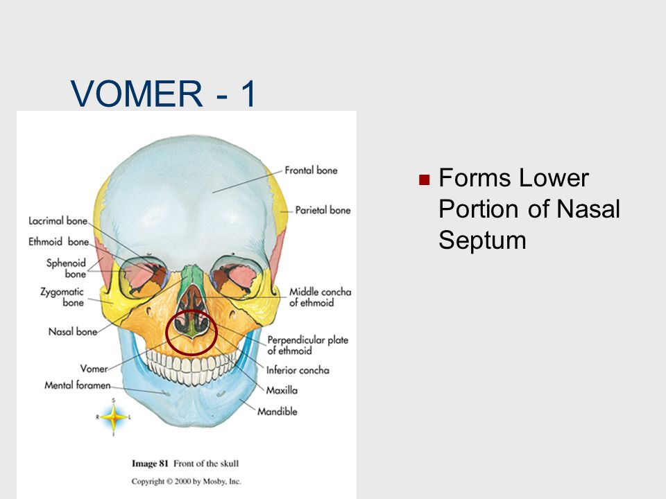 VOMER ‑ 1 Forms Lower Portion of Nasal Septum