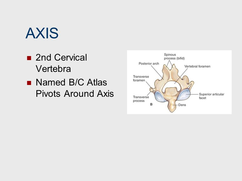 AXIS 2nd Cervical Vertebra Named B/C Atlas Pivots Around Axis