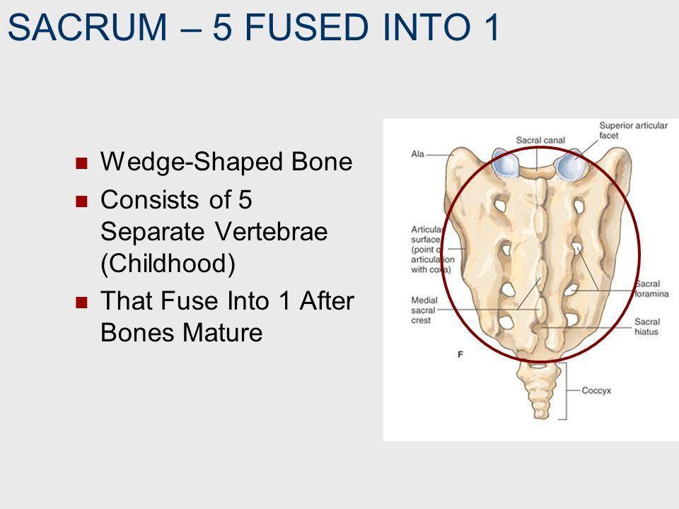 SACRUM – 5 FUSED INTO 1 Wedge-Shaped Bone