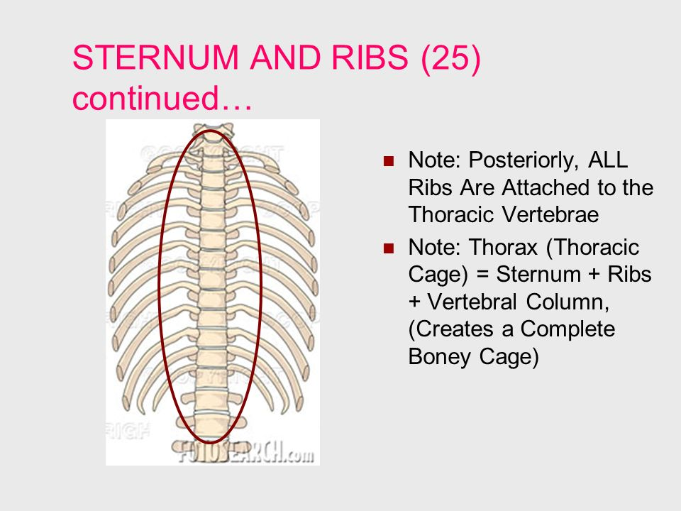 STERNUM AND RIBS (25) continued…