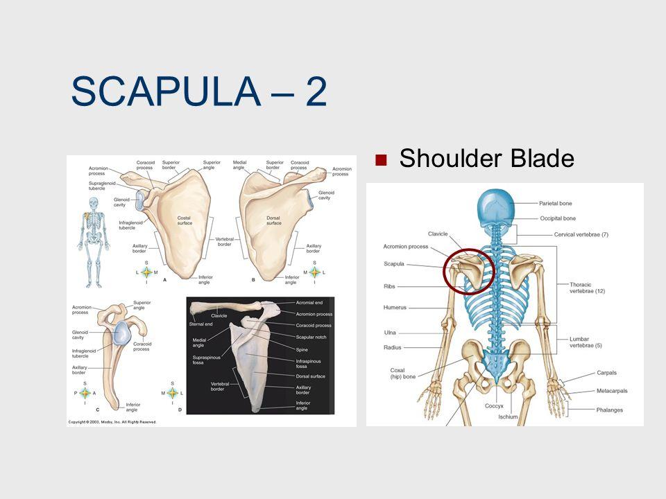 SCAPULA – 2 Shoulder Blade