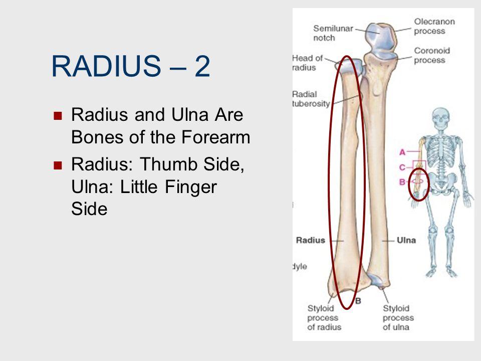 RADIUS – 2 Radius and Ulna Are Bones of the Forearm