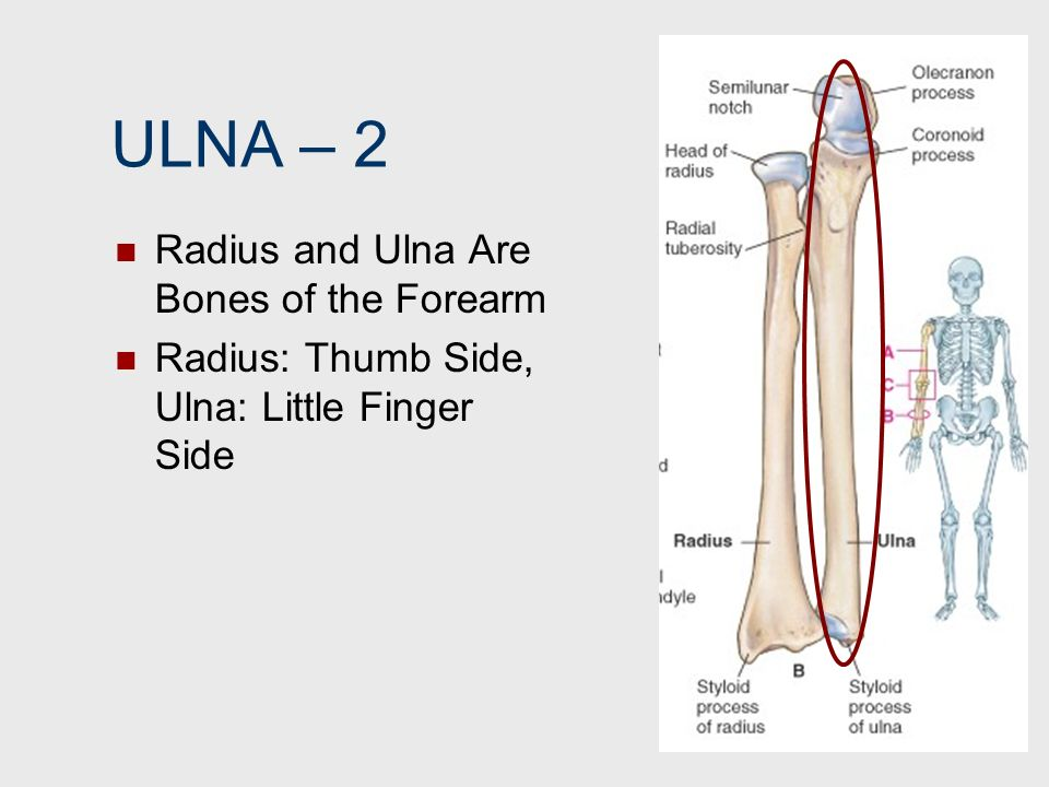 ULNA – 2 Radius and Ulna Are Bones of the Forearm