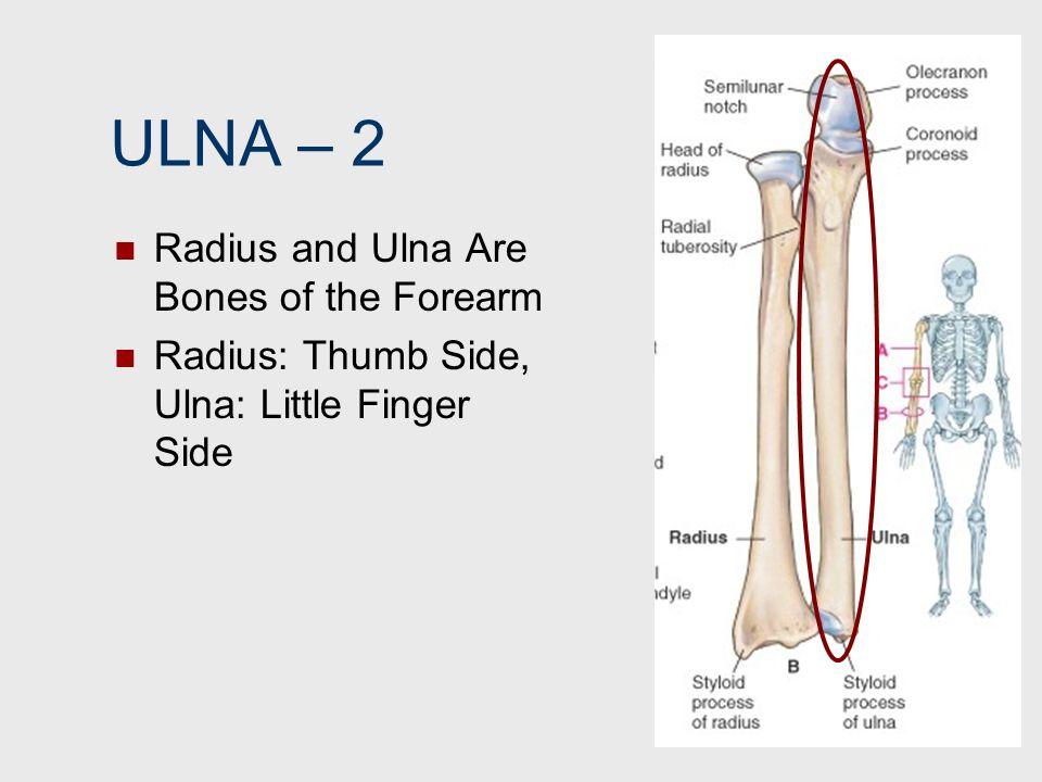ULNA – 2 Radius and Ulna Are Bones of the Forearm