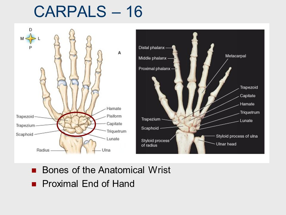 CARPALS – 16 Bones of the Anatomical Wrist Proximal End of Hand