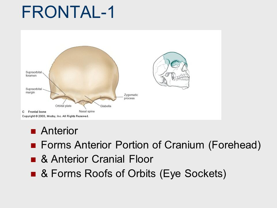 FRONTAL-1 Anterior Forms Anterior Portion of Cranium (Forehead)