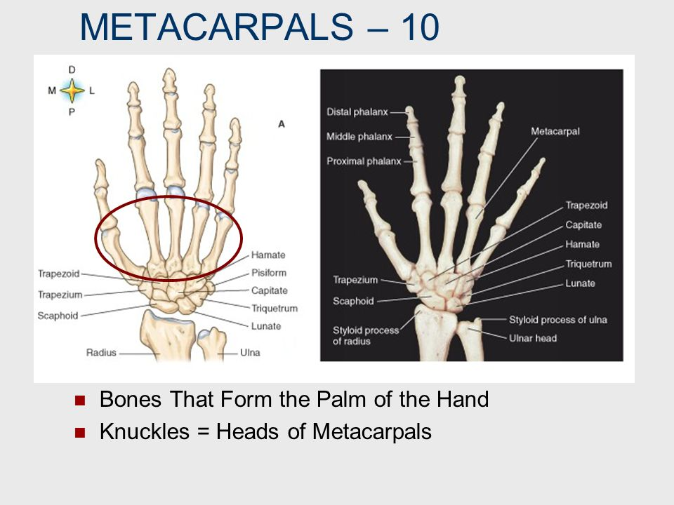 METACARPALS – 10 Bones That Form the Palm of the Hand