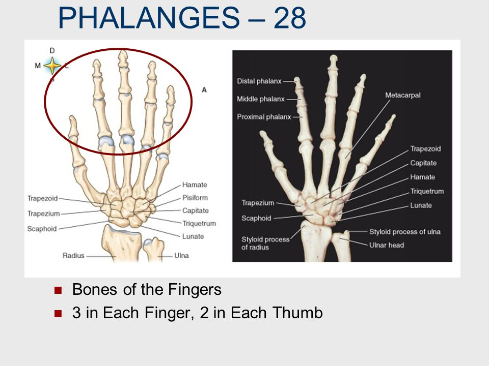 PHALANGES – 28 Bones of the Fingers 3 in Each Finger, 2 in Each Thumb