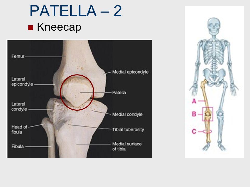 PATELLA – 2 Kneecap