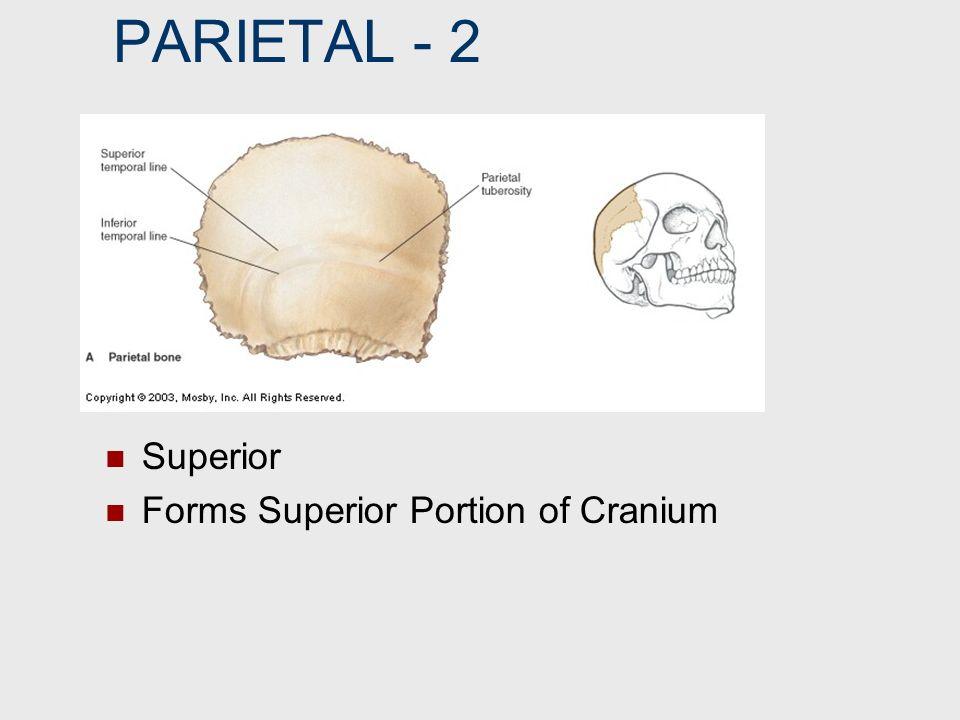 PARIETAL ‑ 2 Superior Forms Superior Portion of Cranium