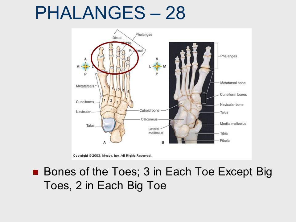 PHALANGES – 28 Bones of the Toes; 3 in Each Toe Except Big Toes, 2 in Each Big Toe