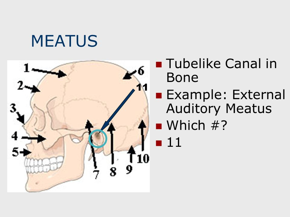 MEATUS Tubelike Canal in Bone Example: External Auditory Meatus