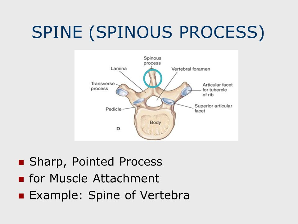 SPINE (SPINOUS PROCESS)