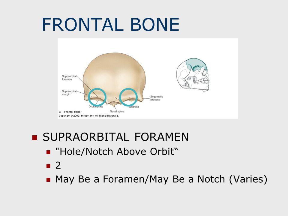 FRONTAL BONE SUPRAORBITAL FORAMEN Hole/Notch Above Orbit 2
