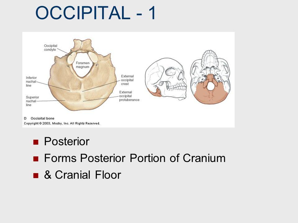 OCCIPITAL ‑ 1 Posterior Forms Posterior Portion of Cranium