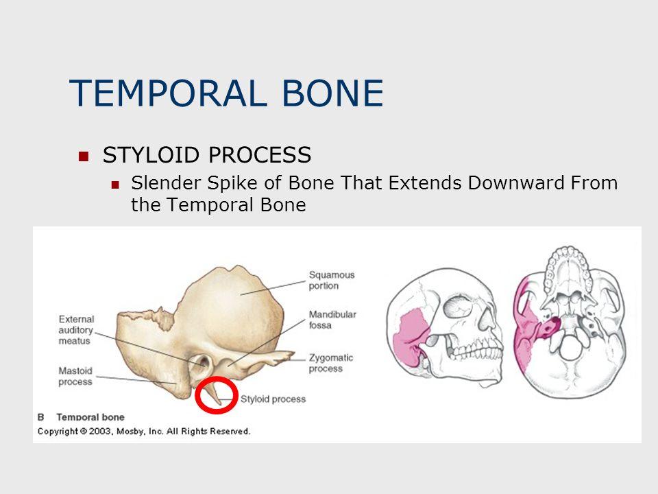 TEMPORAL BONE STYLOID PROCESS