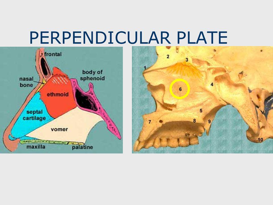 PERPENDICULAR PLATE