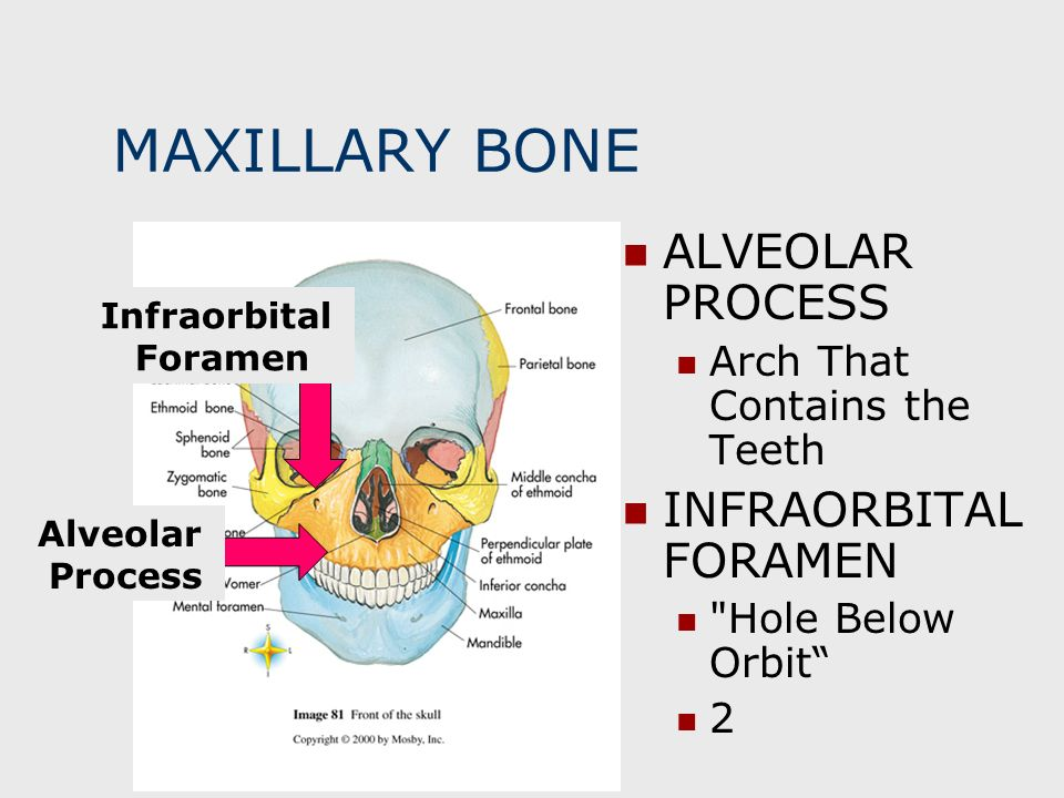 MAXILLARY BONE ALVEOLAR PROCESS INFRAORBITAL FORAMEN