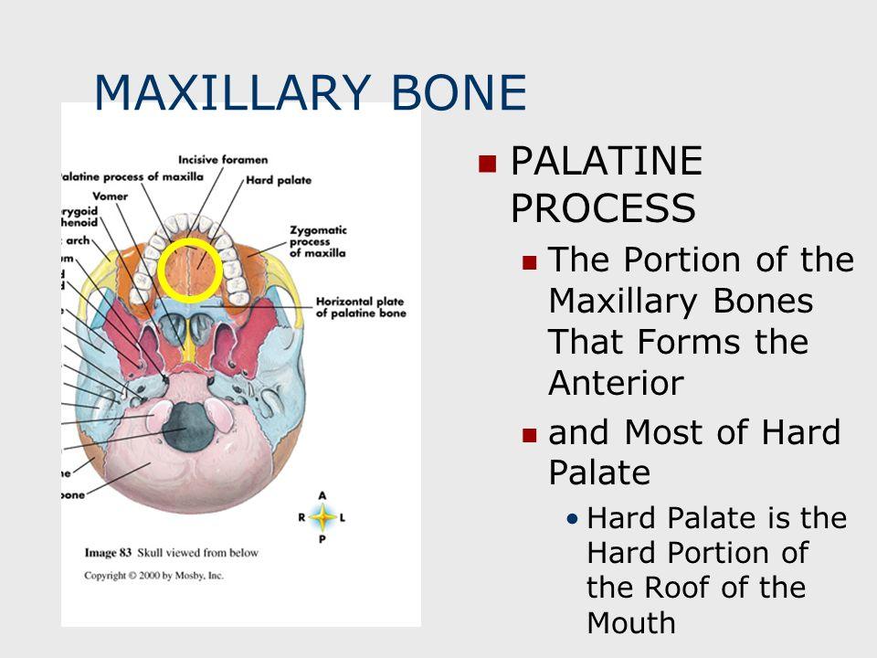 MAXILLARY BONE PALATINE PROCESS