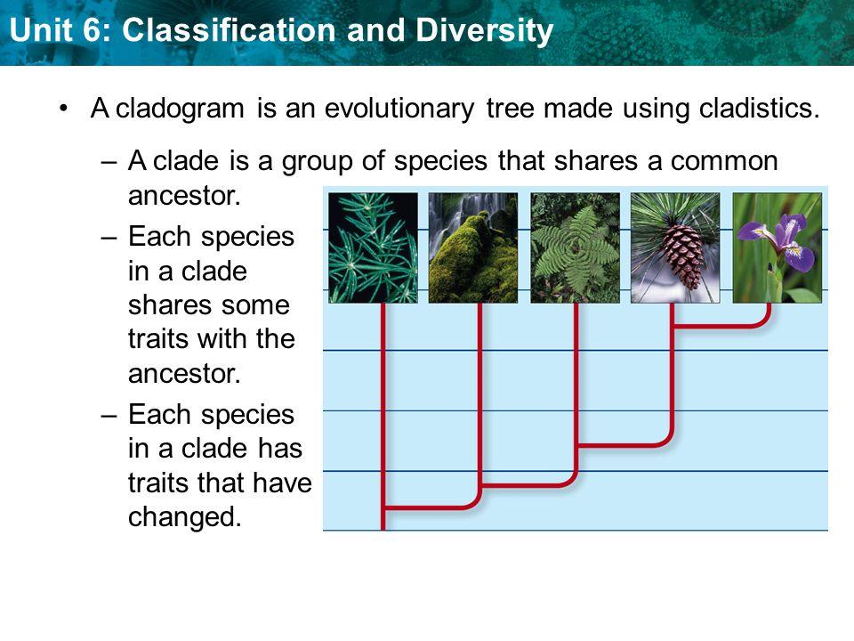 A cladogram is an evolutionary tree made using cladistics.