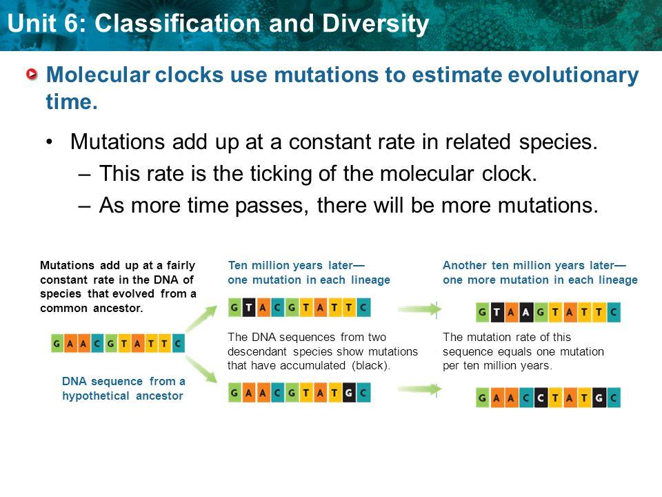 Molecular clocks use mutations to estimate evolutionary time.