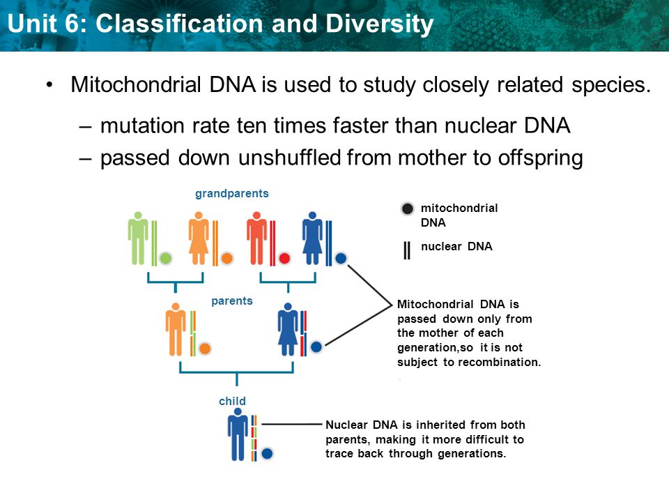 Mitochondrial DNA is used to study closely related species.