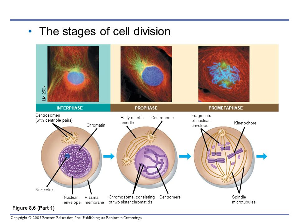 The stages of cell division
