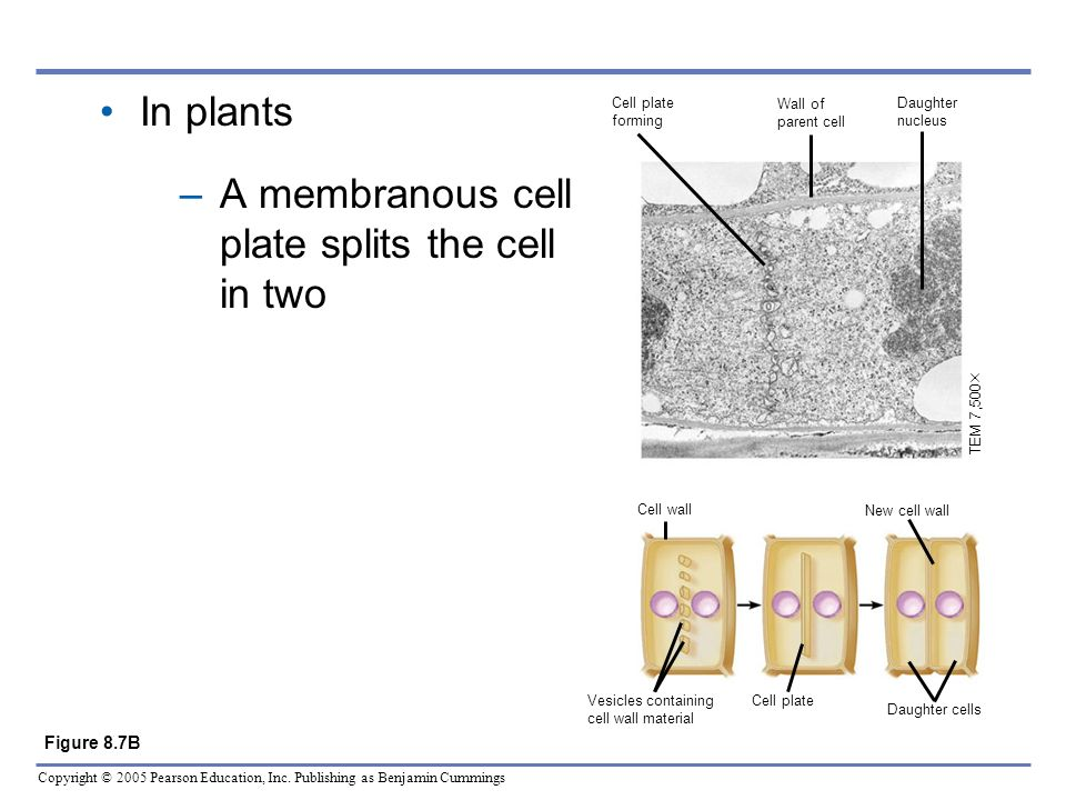 A membranous cell plate splits the cell in two