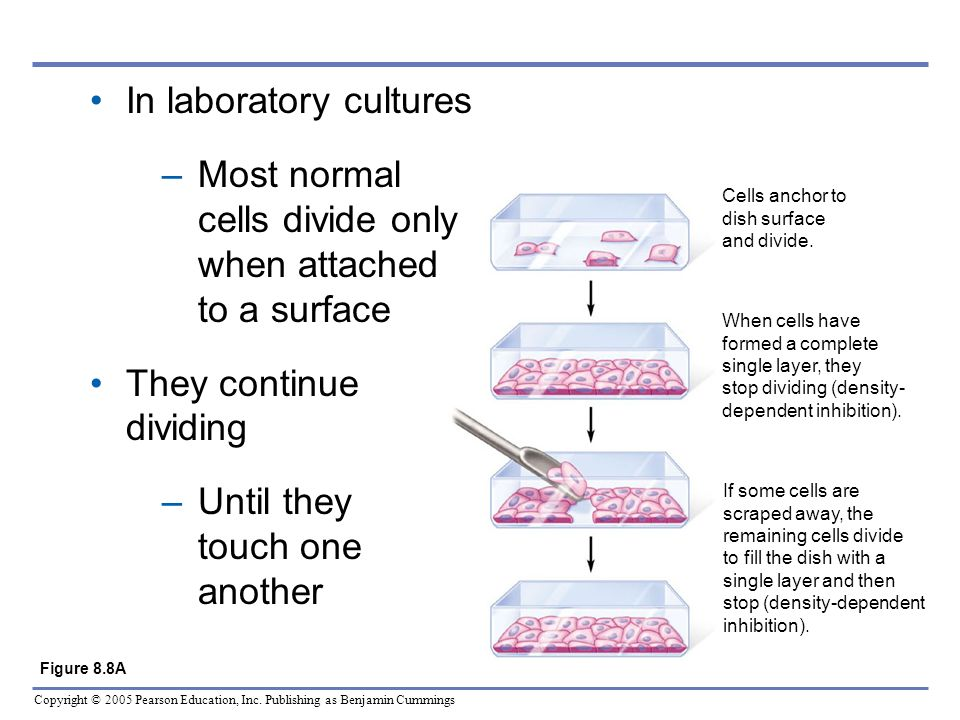 In laboratory cultures