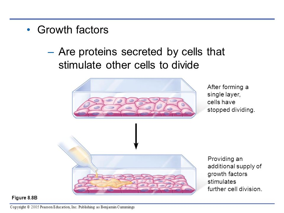 Are proteins secreted by cells that stimulate other cells to divide