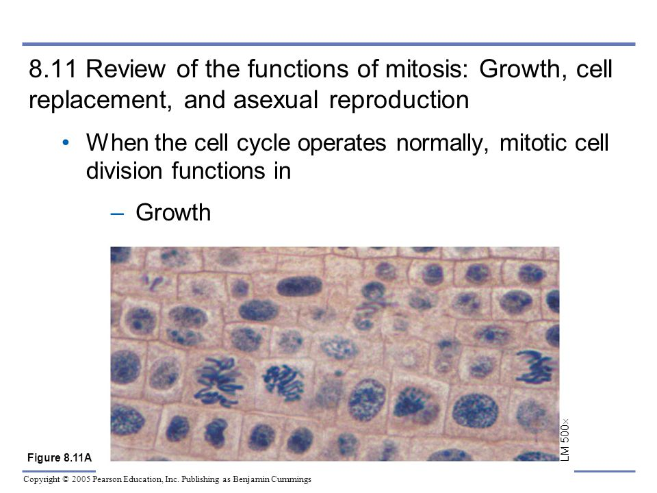 8.11 Review of the functions of mitosis: Growth, cell replacement, and asexual reproduction