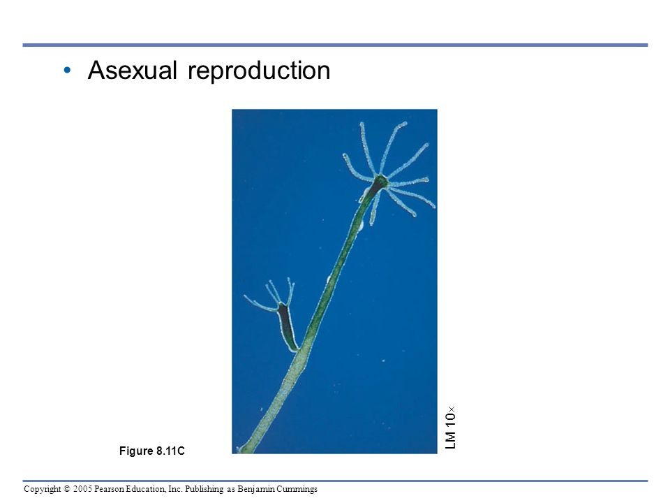 Asexual reproduction LM 10 Figure 8.11C