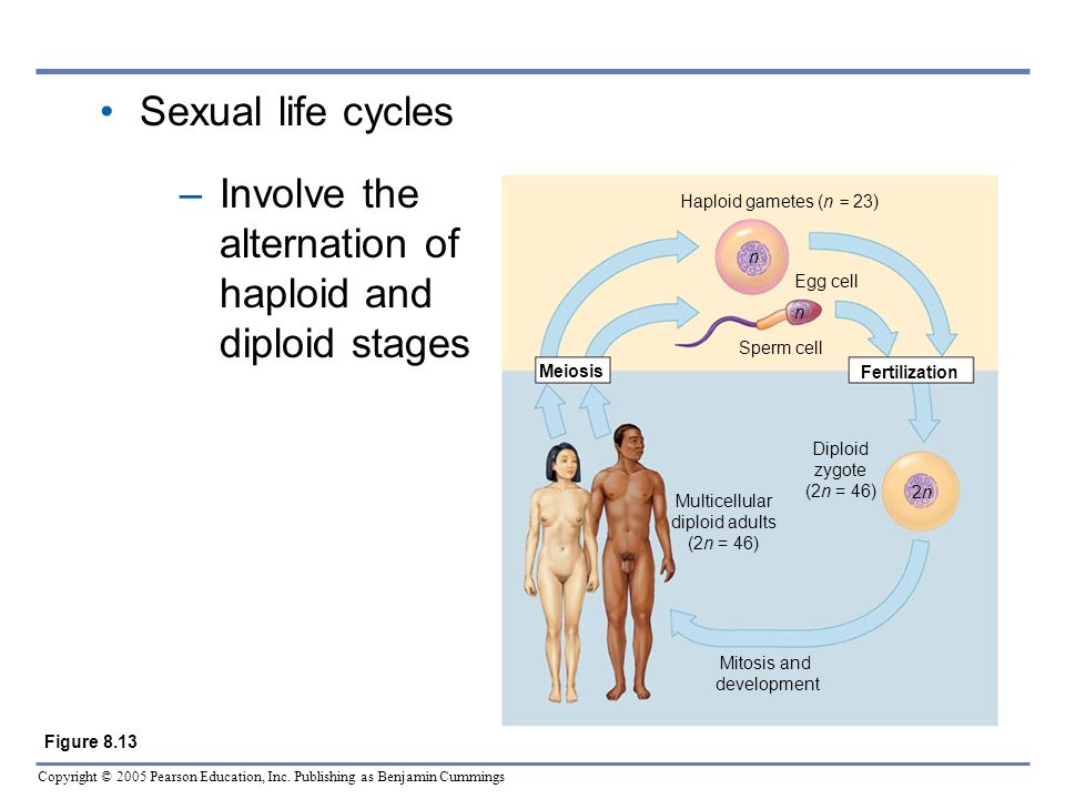Involve the alternation of haploid and diploid stages