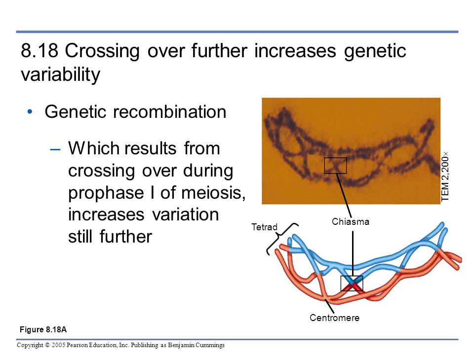 8.18 Crossing over further increases genetic variability