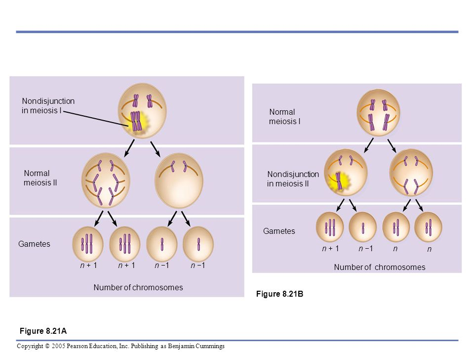 Nondisjunction in meiosis I Normal meiosis II. Gametes. n + 1. n 1. Number of chromosomes. Nondisjunction in meiosis II.